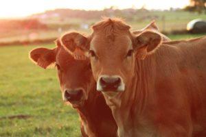 Rindfleischsorten